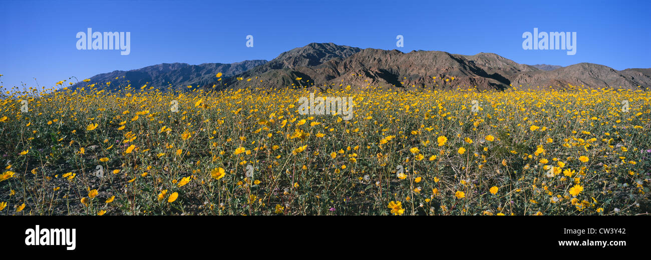 Panoramic view of desert lillies and desert gold yellow flowers in panoramic view of desert lillies and desert gold yellow flowers in spring fields of death valley national park california mightylinksfo