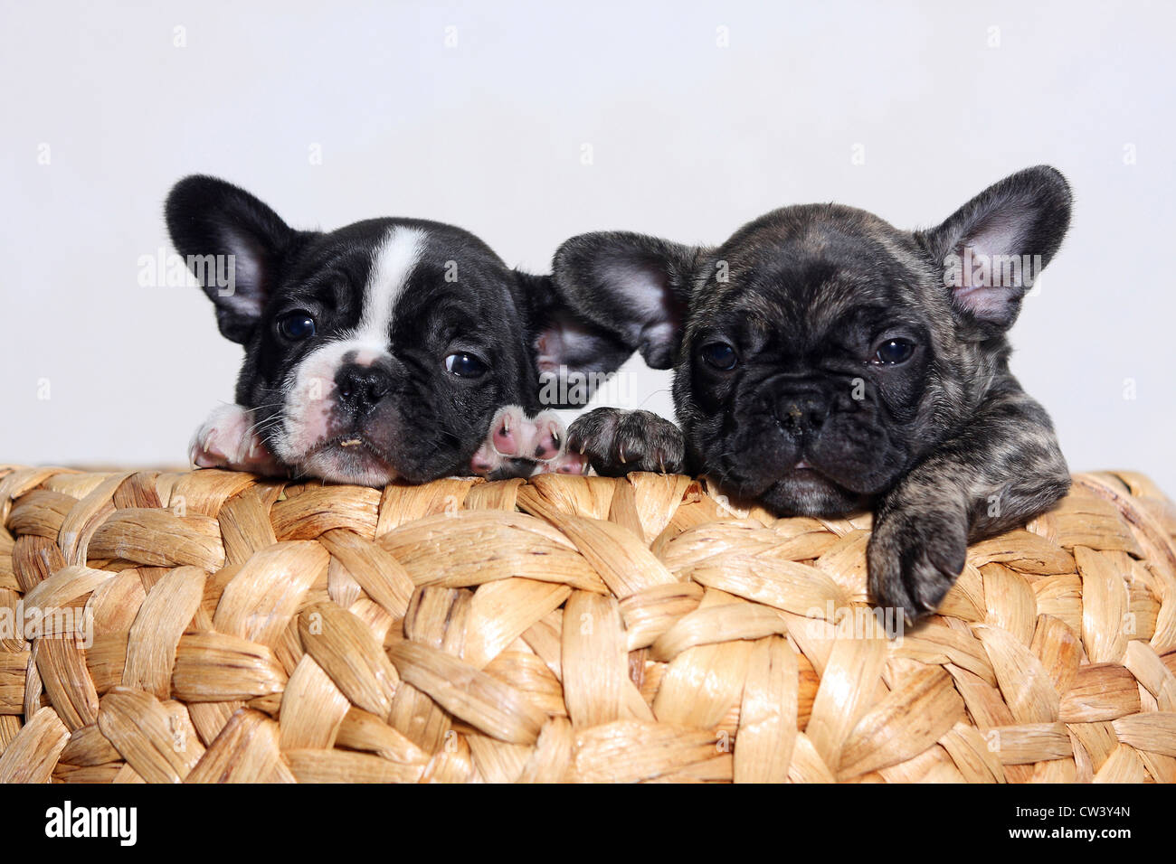 French Bulldog Canis Lupus Familiaris Black And White And Brindle