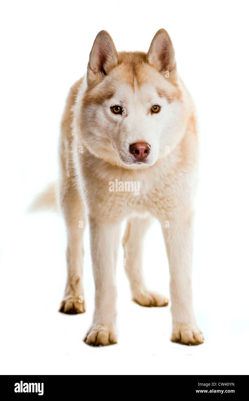 Siberian Husky. Adult standing. Studio picture against a white background - Stock Image