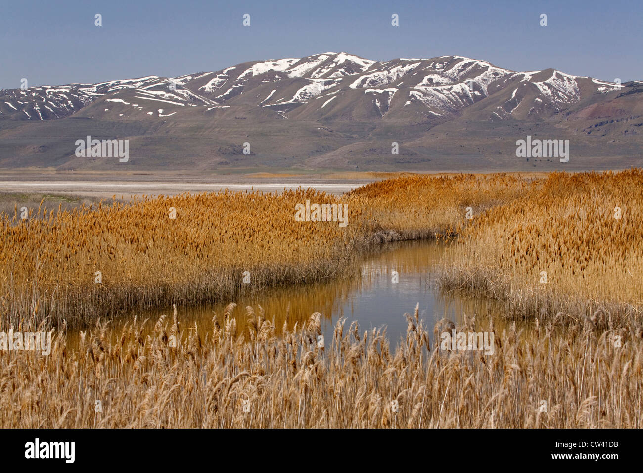 Reeds growing in the lake, Bear River Migratory Bird Refuge, Ogden, Utah, USA - Stock Image