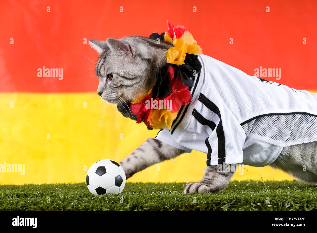 bb047bb26 Domestic Cat. Tabby adult dressed in the jersey of the German National  Football Team and garland in the Germen national colours