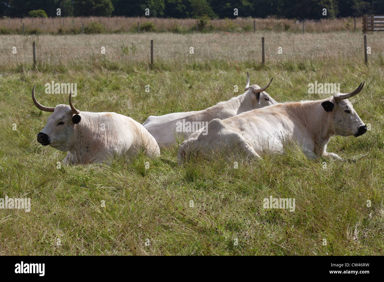 White Park Cattle (Bos taurus). Cows at rest, 'chewing the cud'. - Stock Image