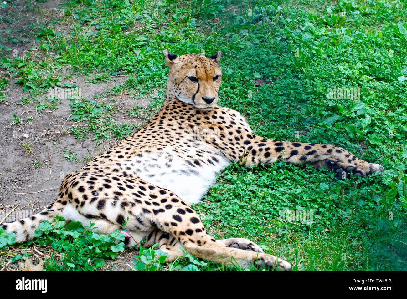 wild cat lying down in zoo of Moscow Russia Stock Photo