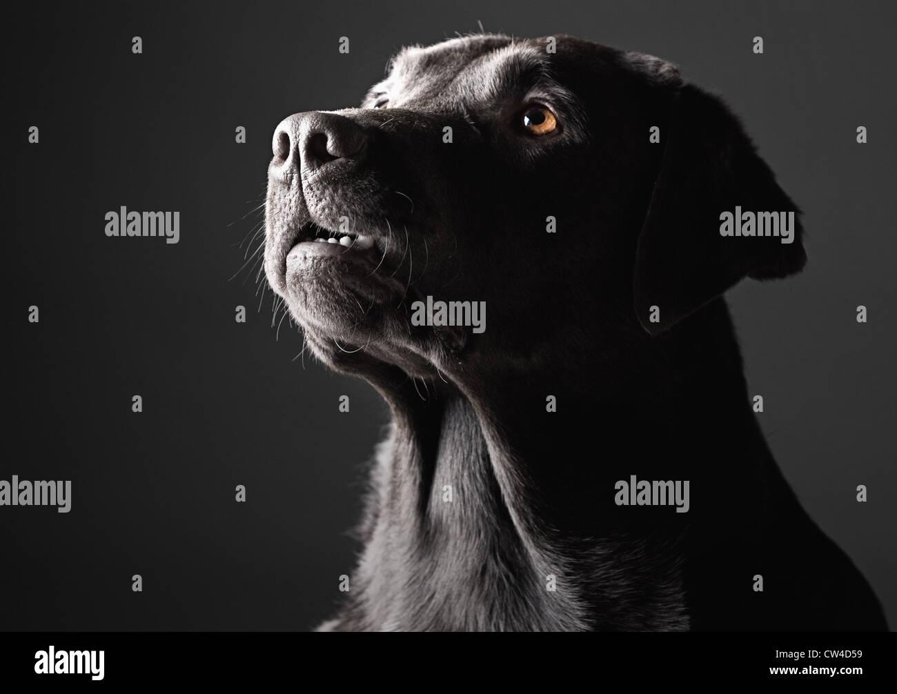 Low Key Shot of a Labrador - Stock Image