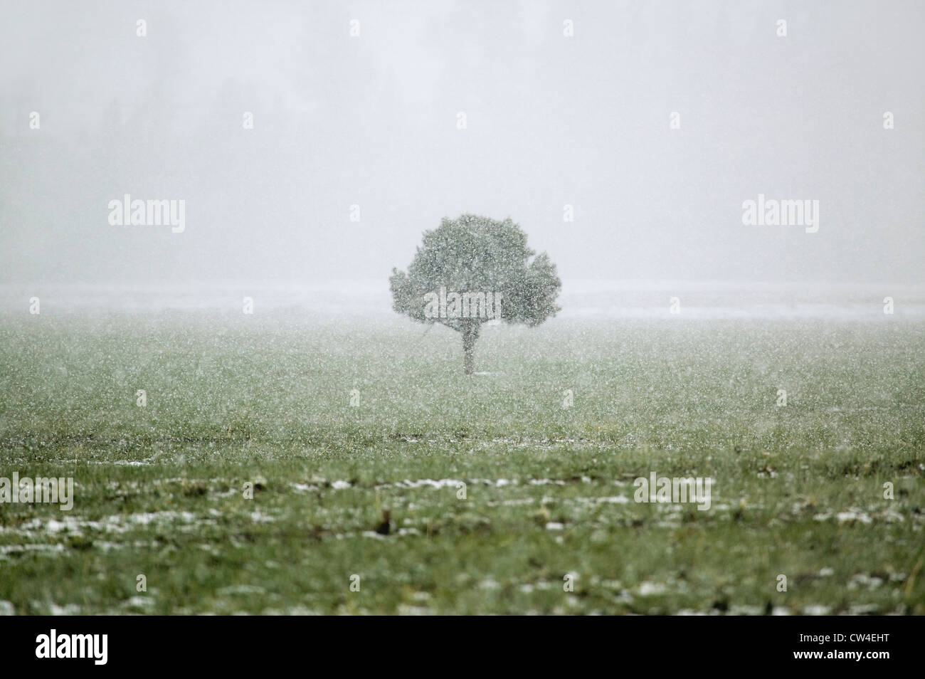 A lone tree standing in the midst of a snow storm in the high-desert of Lockwood Valley, Las Padres National Forest, Stock Photo