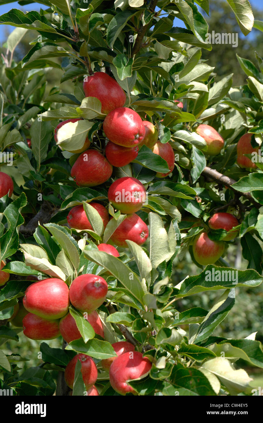 Apples in summer - Stock Image