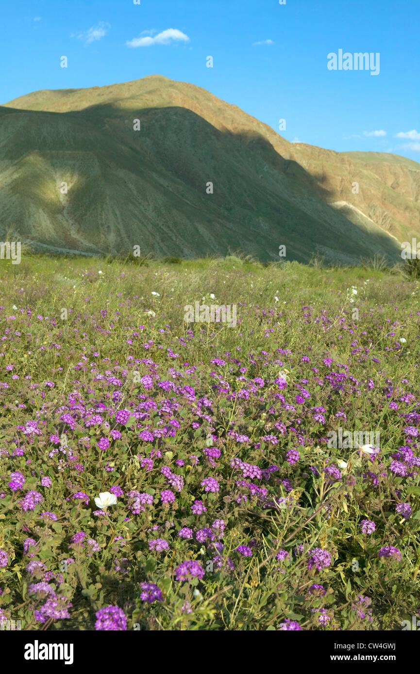 Purple flowers bloom in spring near henderson road in anza borrego purple flowers bloom in spring near henderson road in anza borrego desert state park near anza borrego springs ca mightylinksfo