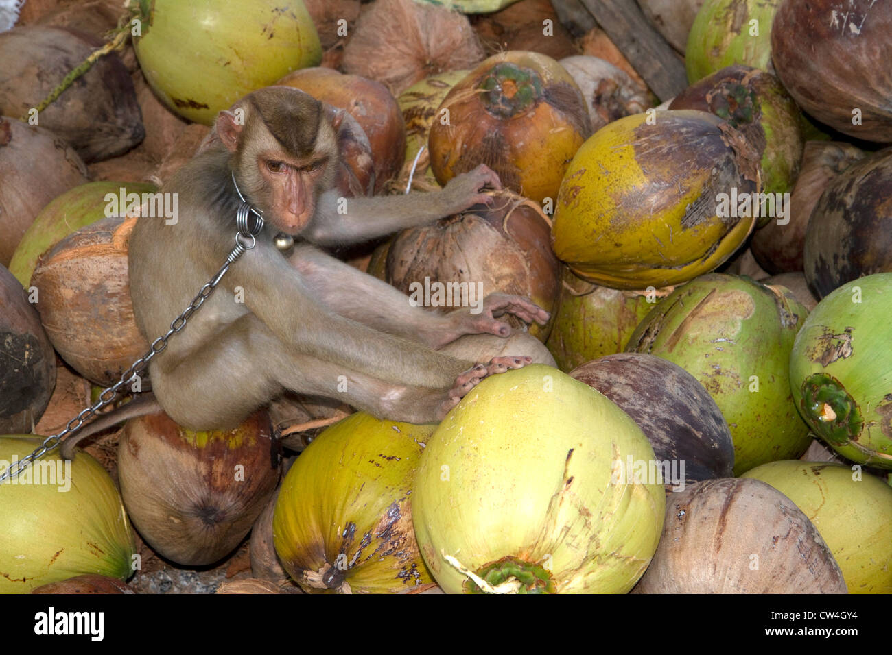 Trained monkey harvests coconuts from trees on the island of Ko Samui, Thailand. - Stock Image