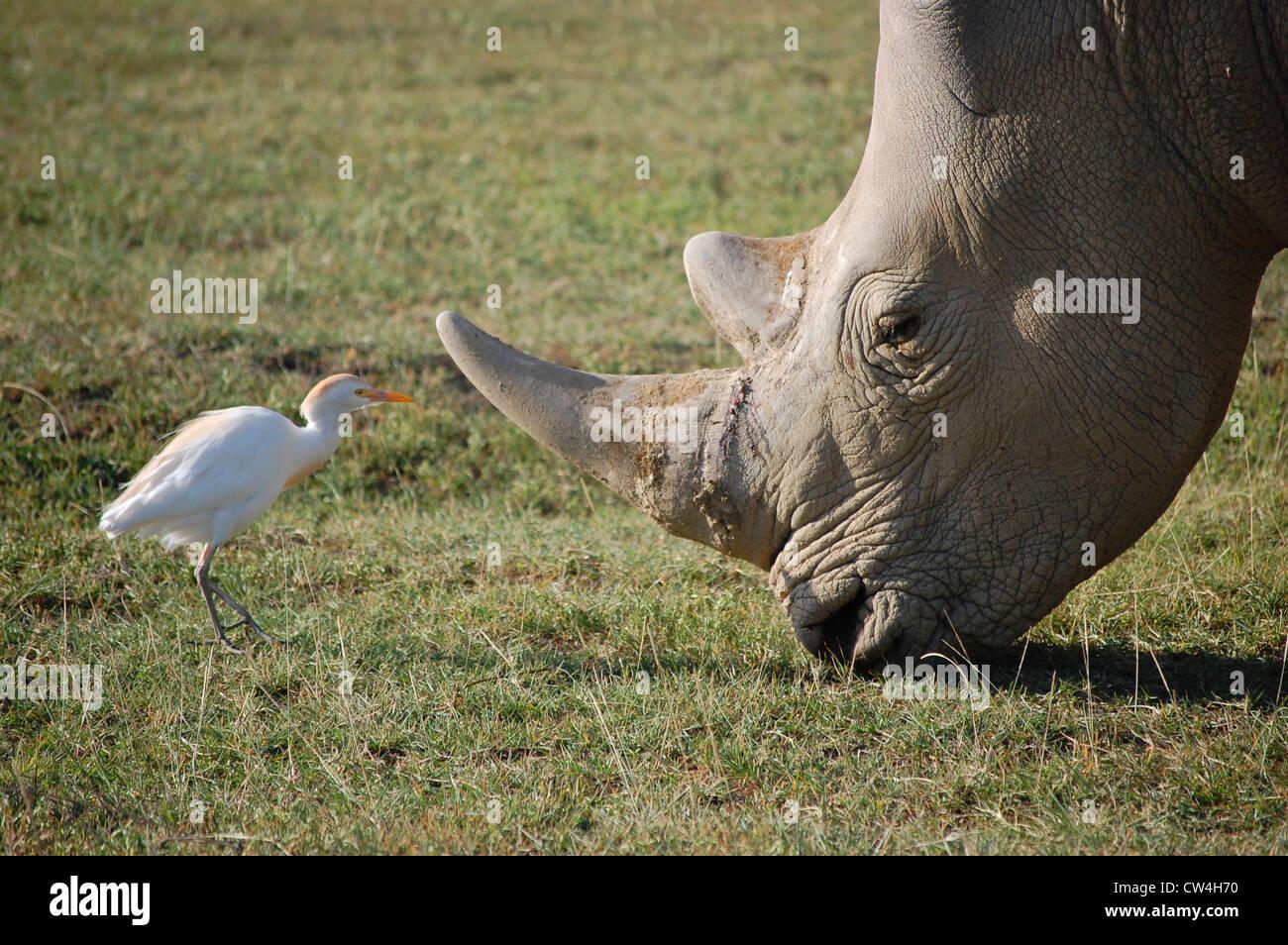 Rhino And White Bird Maasai Mara Kenya