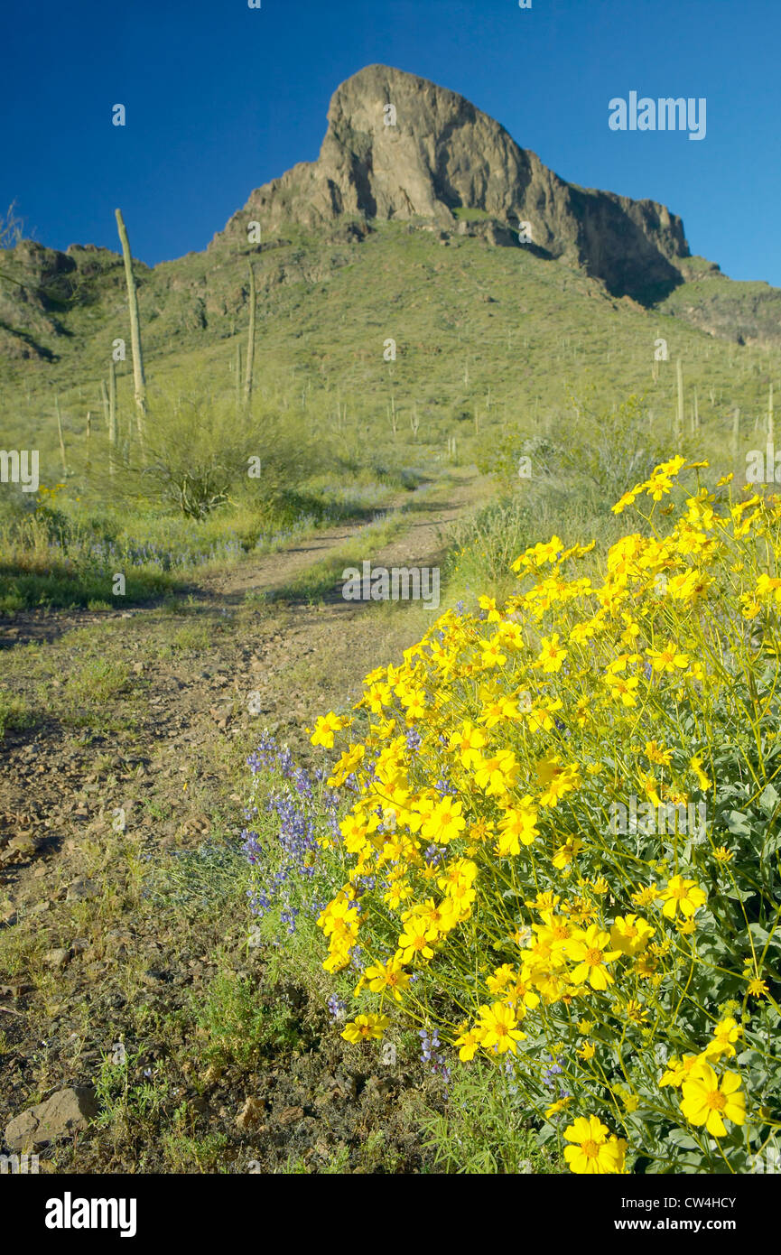Yellow Desert Flowers Blossoming In Spring At Picacho Peak State