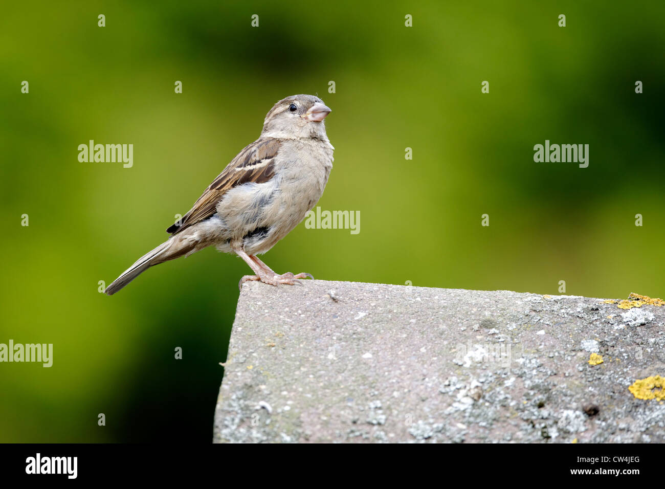 House sparrow, Passer domesticus. single female on tiled roof, Staffordshire, August 2012 Stock Photo