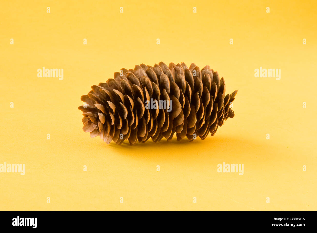 pine cone from a Norway Spruce Tree - Stock Image