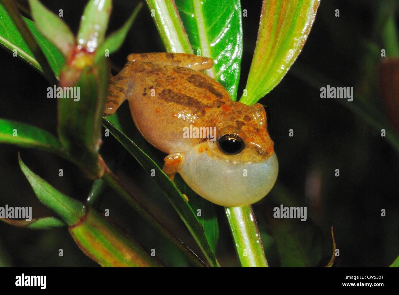 Common Shrub Frog (Philautus popularis) calling in the Sinharaja Rain Forest, Sri Lanka - Stock Image