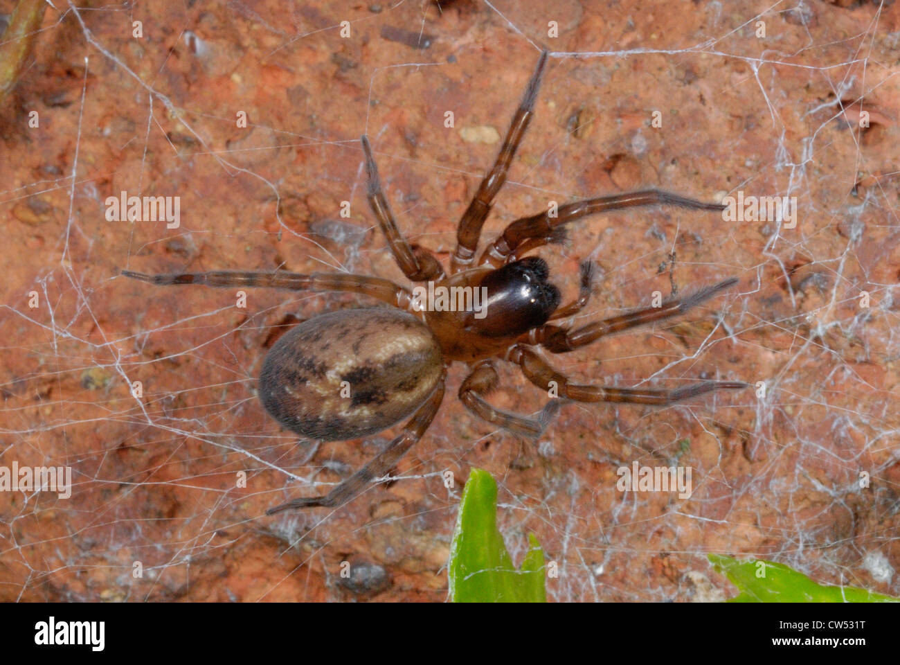 Garden Lace-webbed Spider (Amaurobius similis) on a garden wall - Stock Image