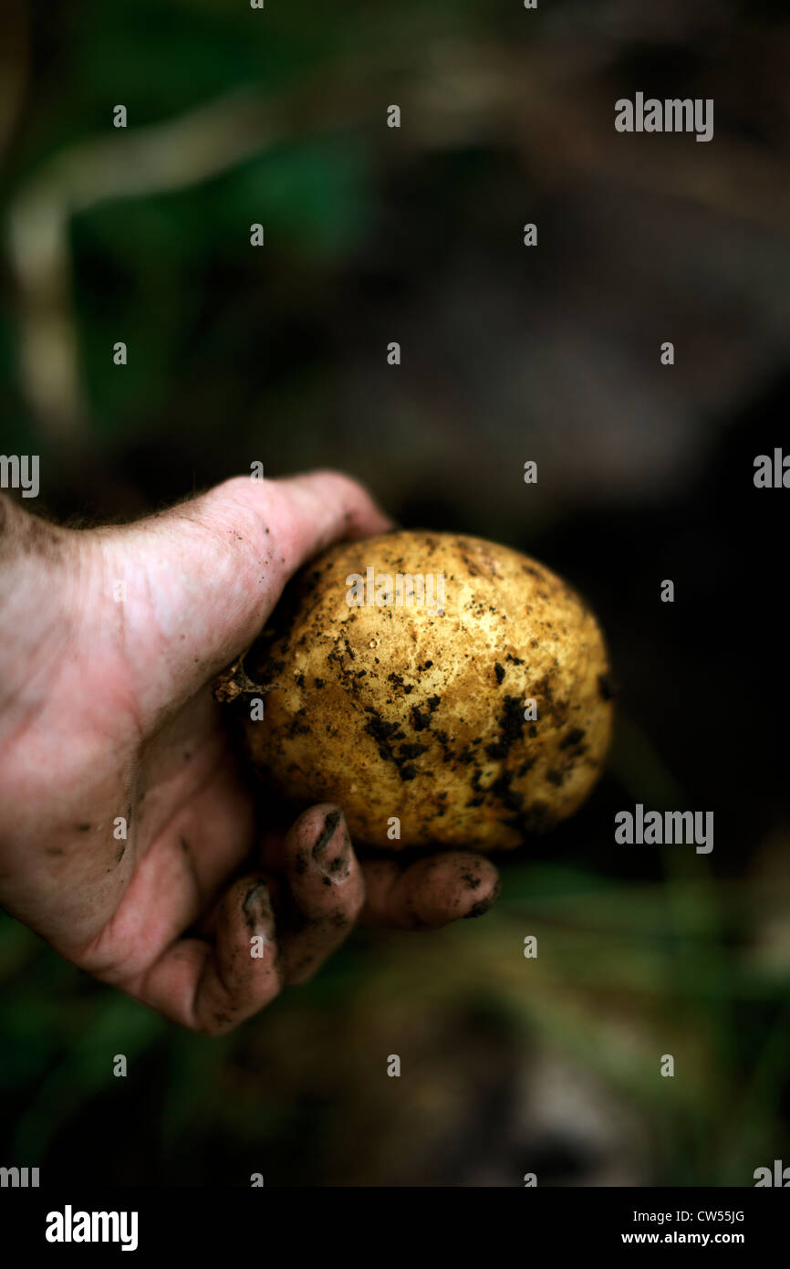 Man's hand holding yellow Yukon Gold potato freshly unearthed. - Stock Image