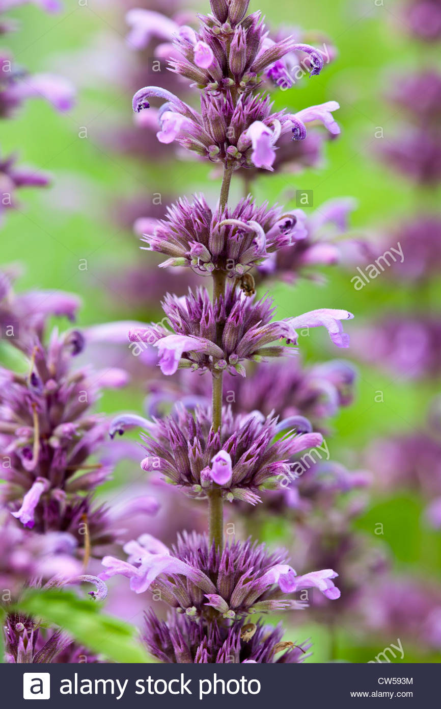 Agastache neomexicana Lavender Haze Bill Williams Mountain giant hyssop summer flower perennial mauve August gardenplant - Stock Image