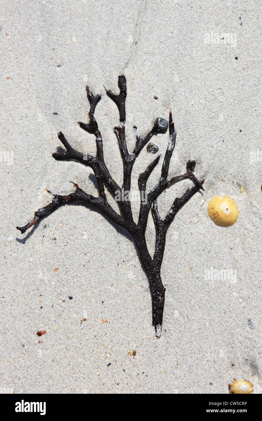 Seaweed on a sandy beach in the shape of a tree - Stock Image