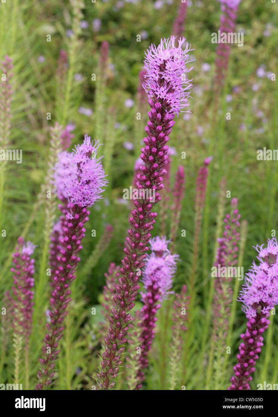 Blazing Star or Gay Feather, Liatris spicata 'Kobold', Asteraceae.  Aka. Prairie Gay Feather, Kobold Dense - Stock Image