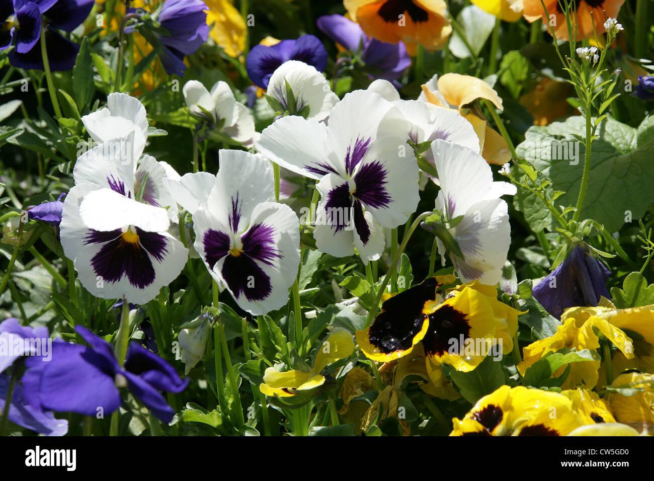 Garden Pansies, Viola × wittrockiana, Violaceae. - Stock Image
