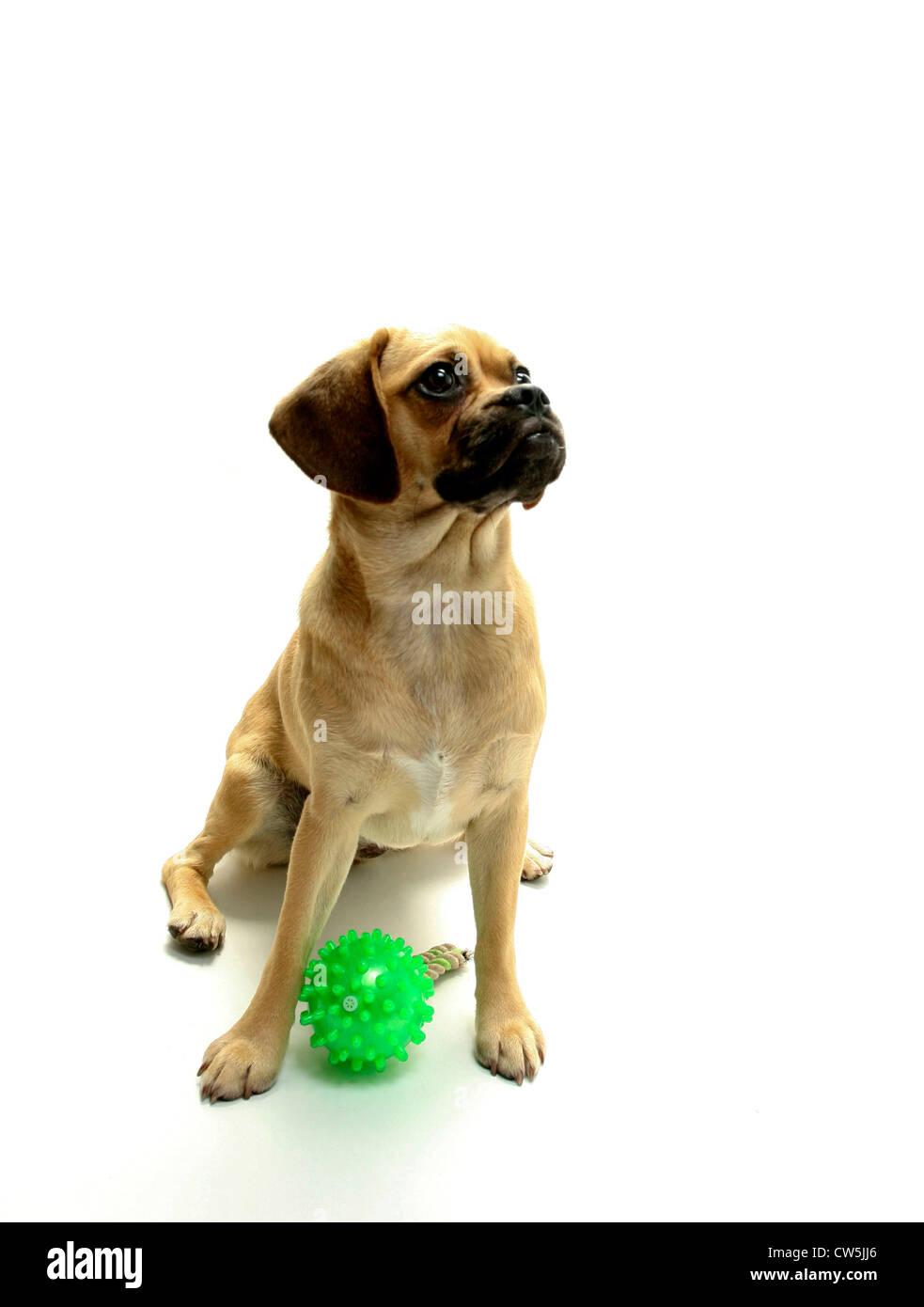 Puggle puppy with a dog training dummy - Stock Image