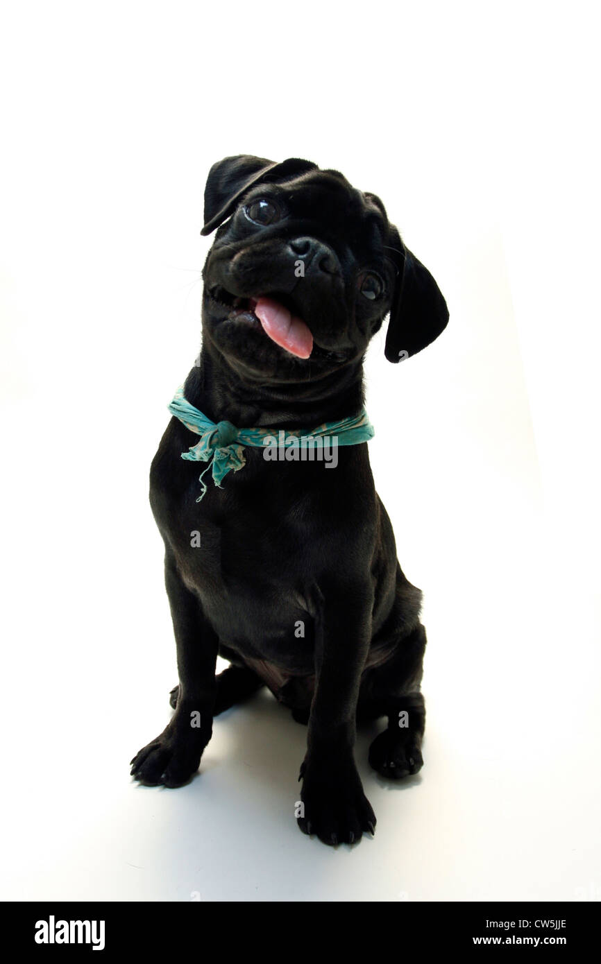 Black Pug puppy with its tongue out - Stock Image