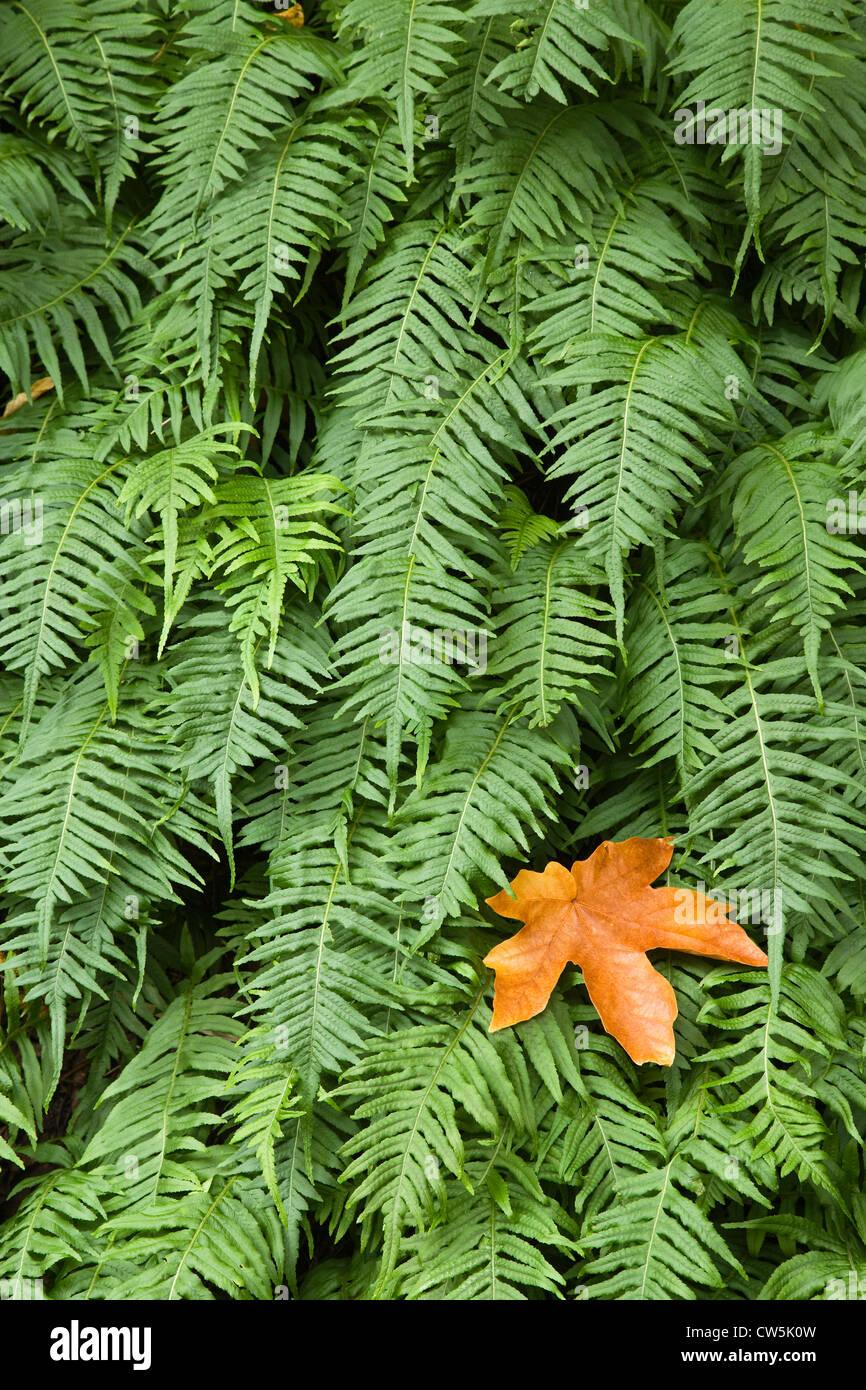 Close-up of Licorice Fern (Polypodium glycyrrhiza), Columbia River Gorge, Oregon, USA Stock Photo