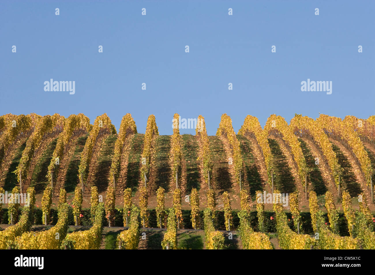 Vines in a vineyard, Archery Summit Winery, Willamette Valley, Oregon, USA - Stock Image