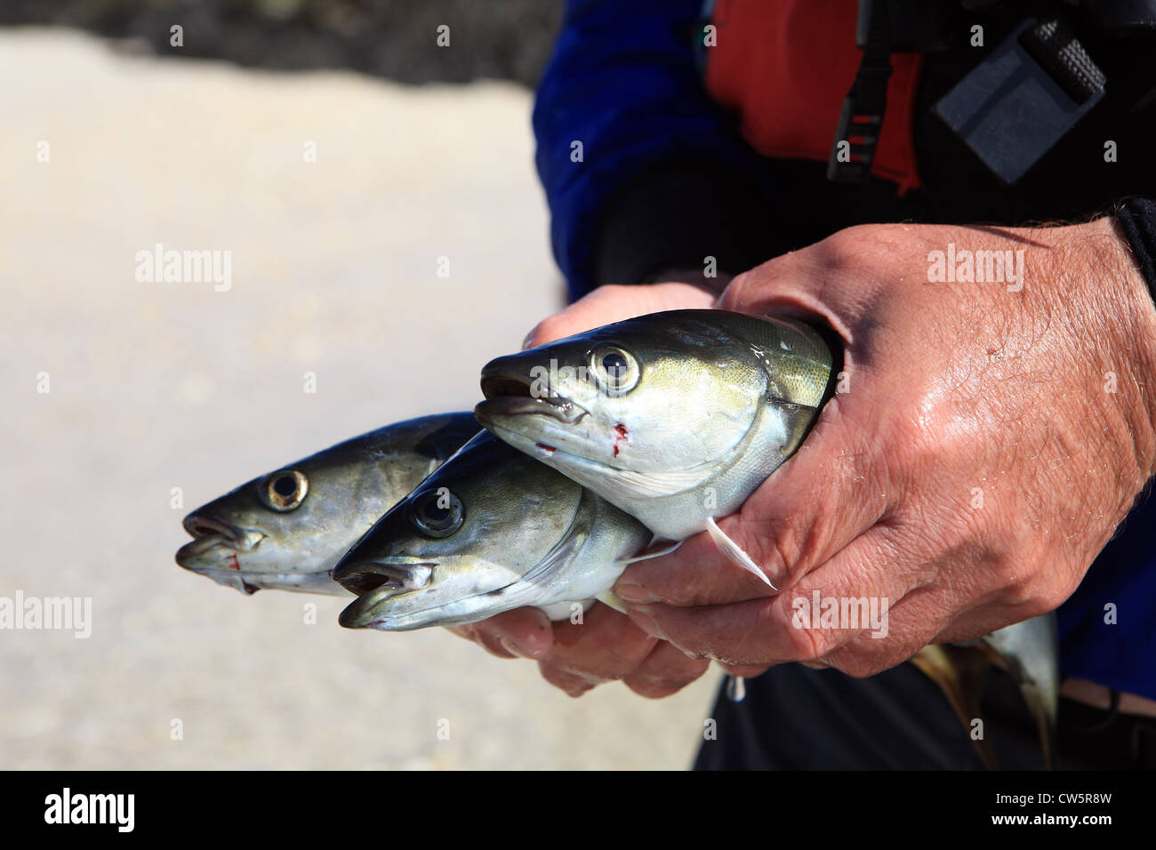 Fisherman holding his catch of three Pollack which were line caught in the west of Scotland - Stock Image