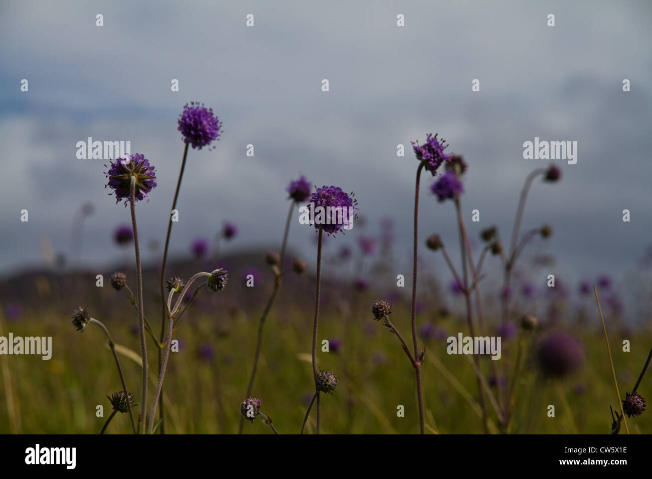 Devil's bit scabious (Succisa pratensis) on the machair on Sanday, Isle of Canna, Small Isles, Scotland - Stock Image