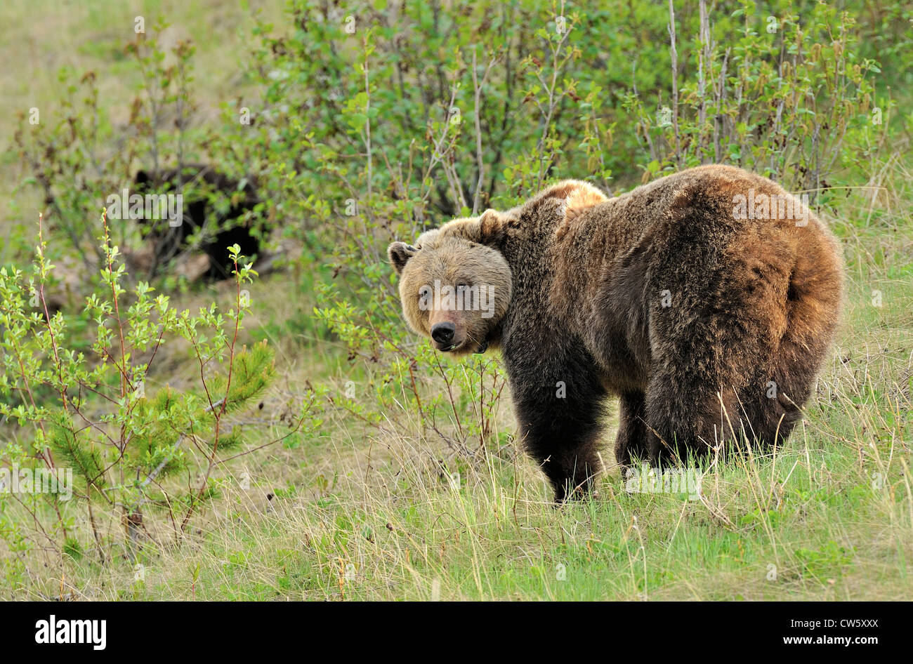 An adult mother grizzly bear looking back as she crosses a mountain meadow in springtime. - Stock Image