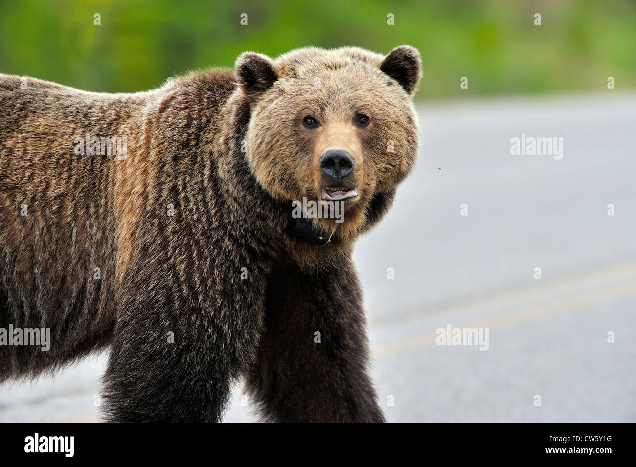 A female grizzly bear portrait - Stock Image