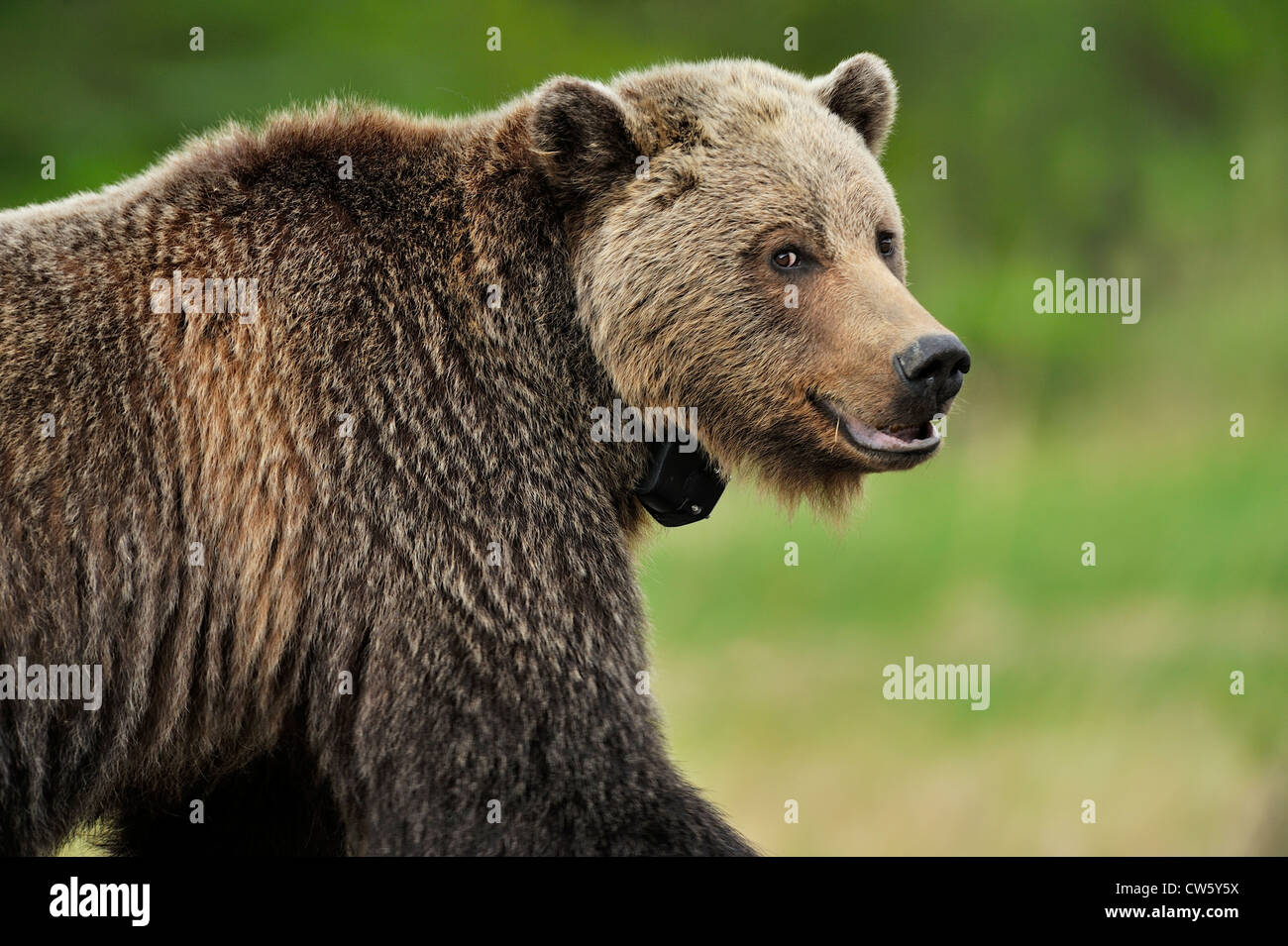 A close up side view of a female grizzly bear Stock Photo