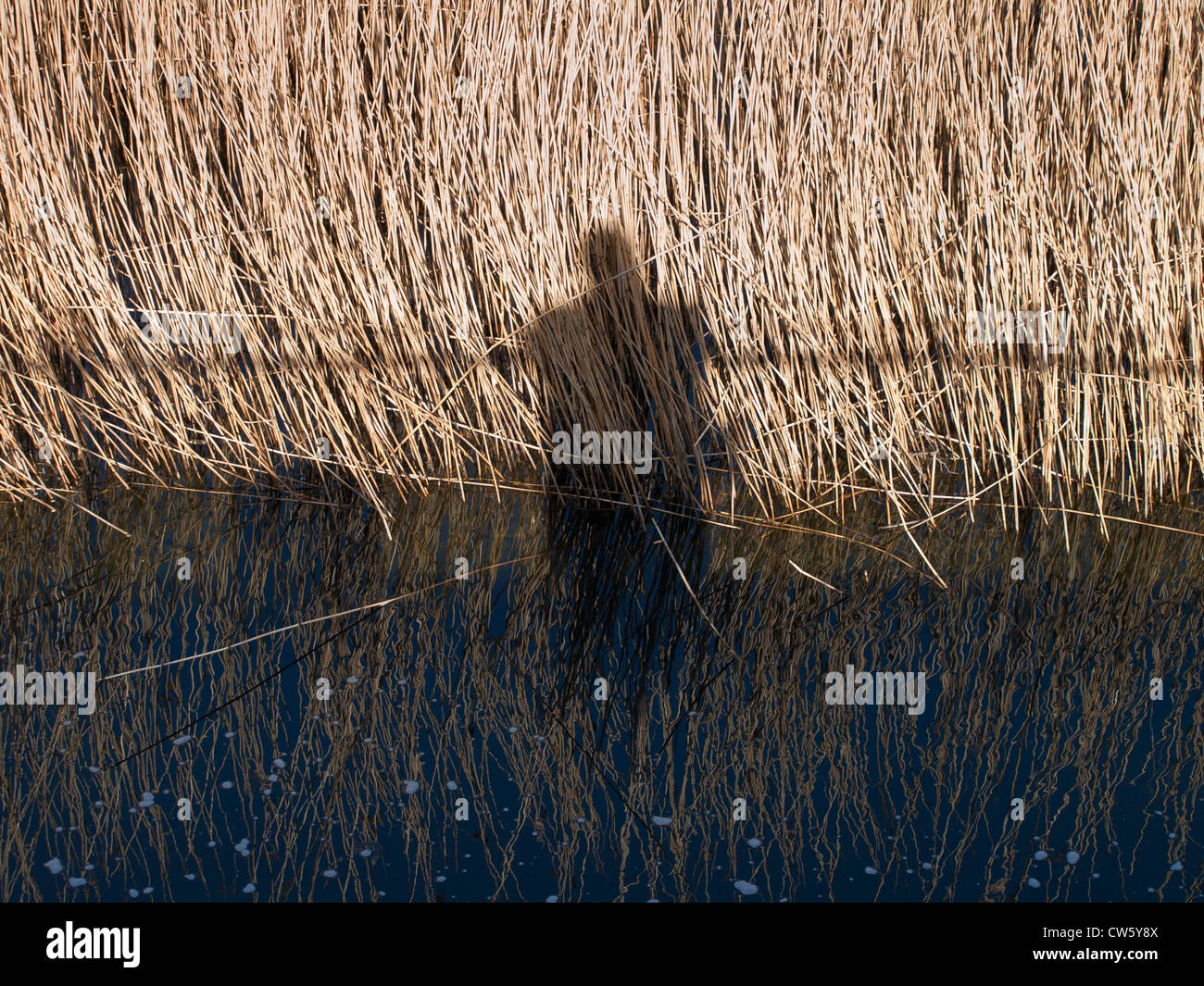 Human shadow leaning on a railing shown on reeds and the water of a lake Stock Photo