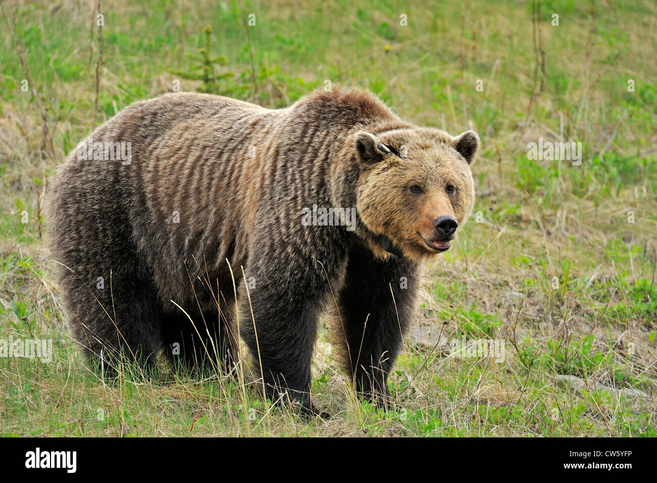 A wild adult female grizzly bear - Stock Image