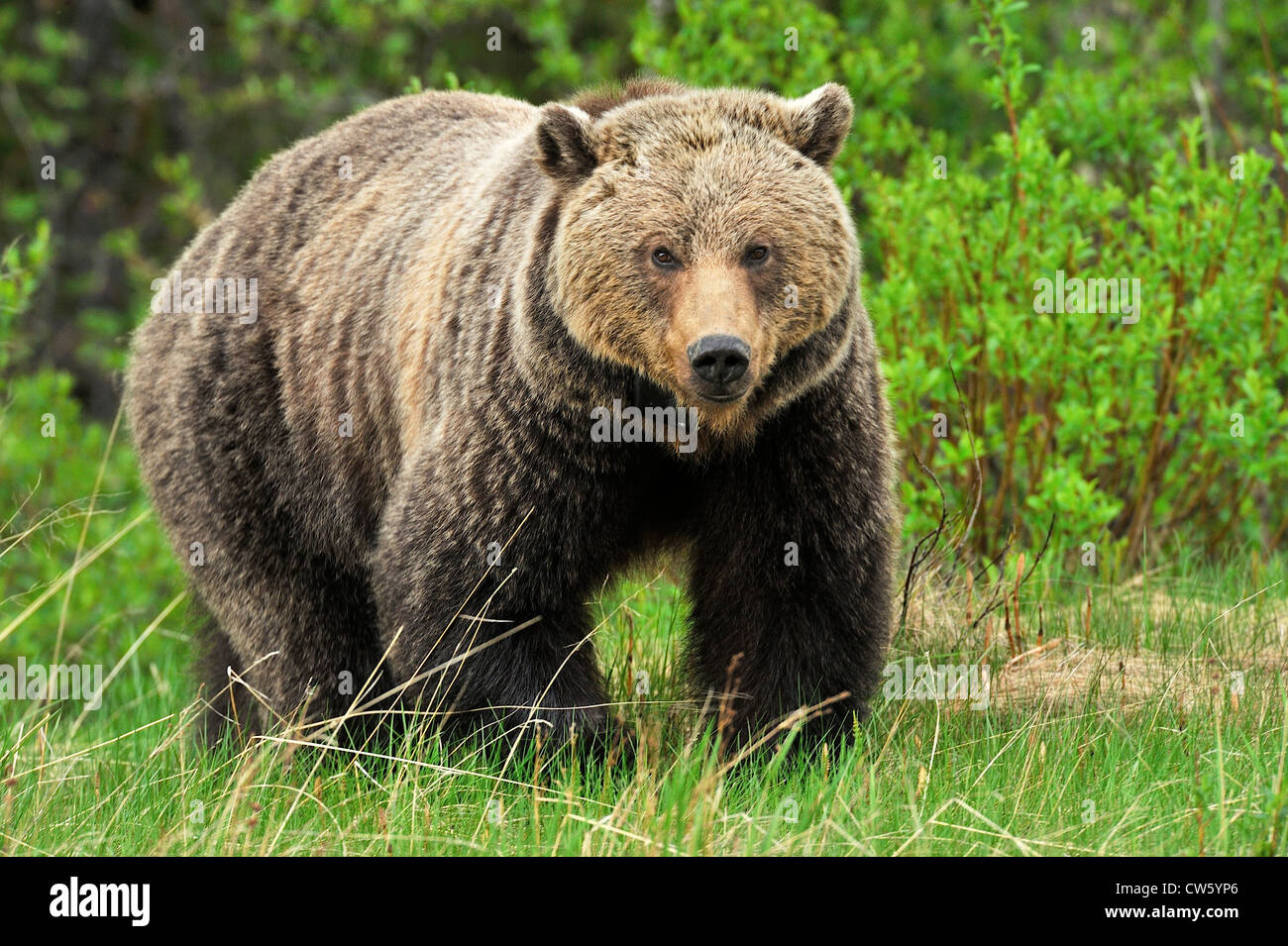 A female grizzly bear - Stock Image