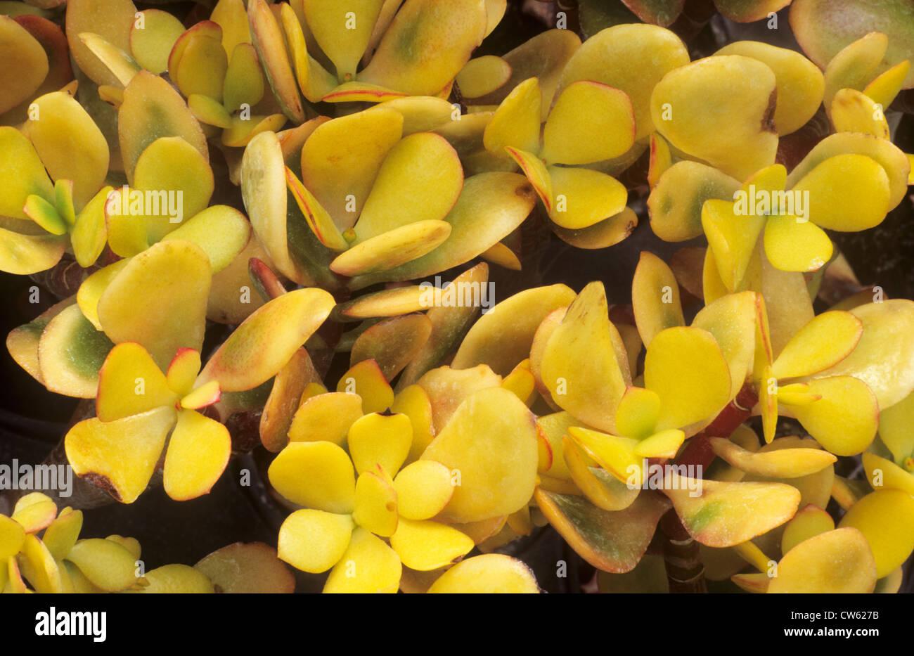 Crassula ovata 'Hummel's Sunset', syn. C. argentea, succulent, succulents yellow foliage leaf leaves garden plant Stock Photo