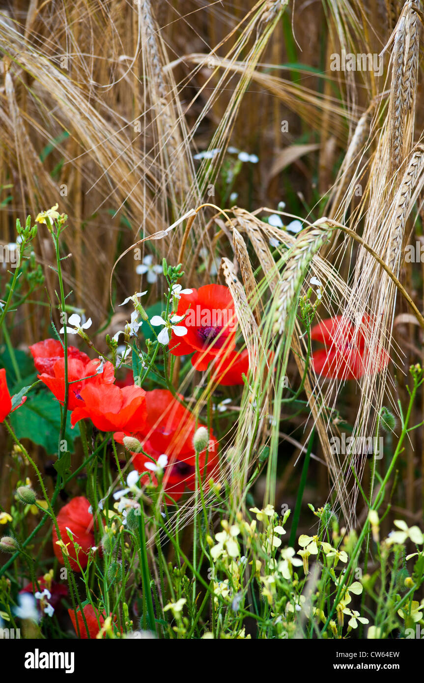 Ears of golden barley in field margin with poppies Field Poppies Papaver rhoeas - Stock Image