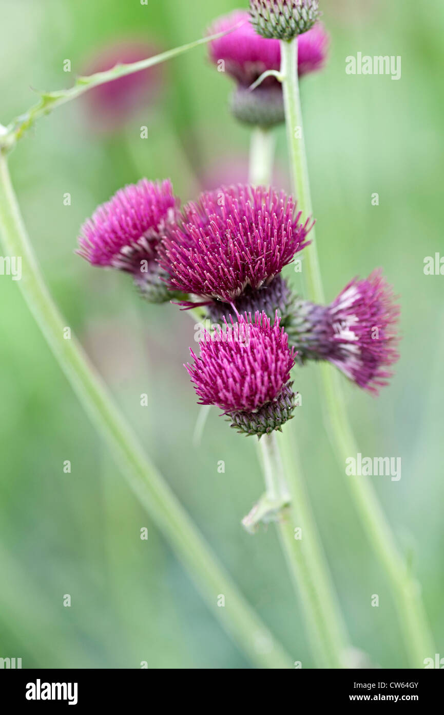cirsium flower purple thistle bloom bees swarming over flowers - Stock Image