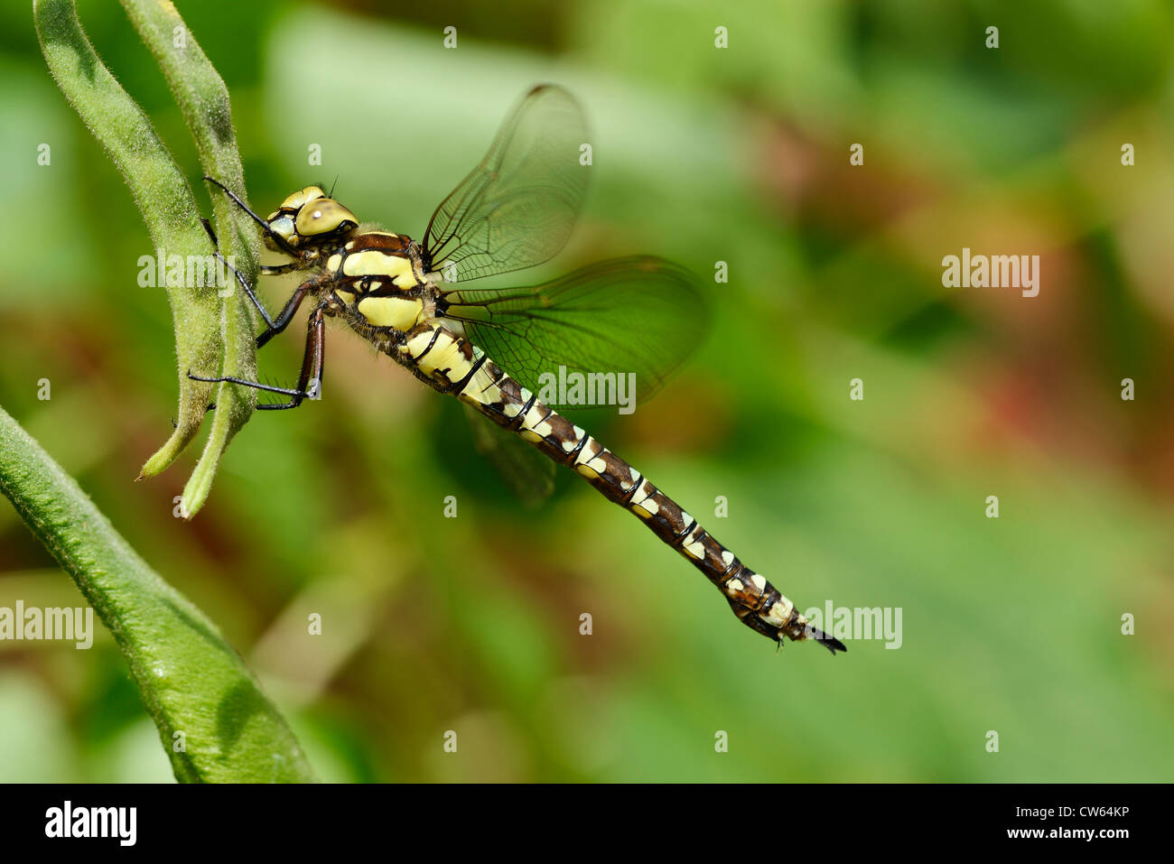 Female Southern Hawker dragonfly Aeshna cyanea - Stock Image