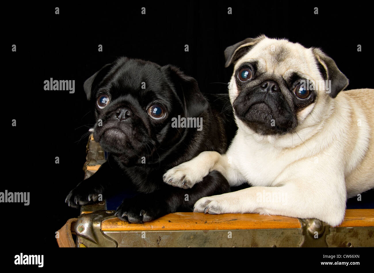 A 6 month old black pug puppy sitting with a 1.5 year old fawn pug. The older dog has her paw on the shoulder of - Stock Image