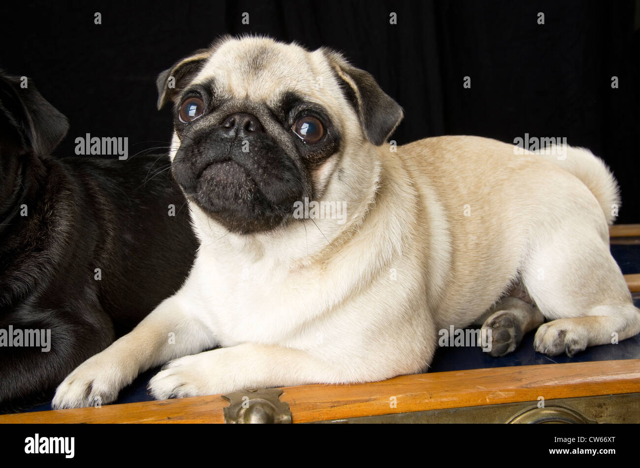 A fawn coloured pug, 1.5 years old, sitting atop an antique trunk. - Stock Image