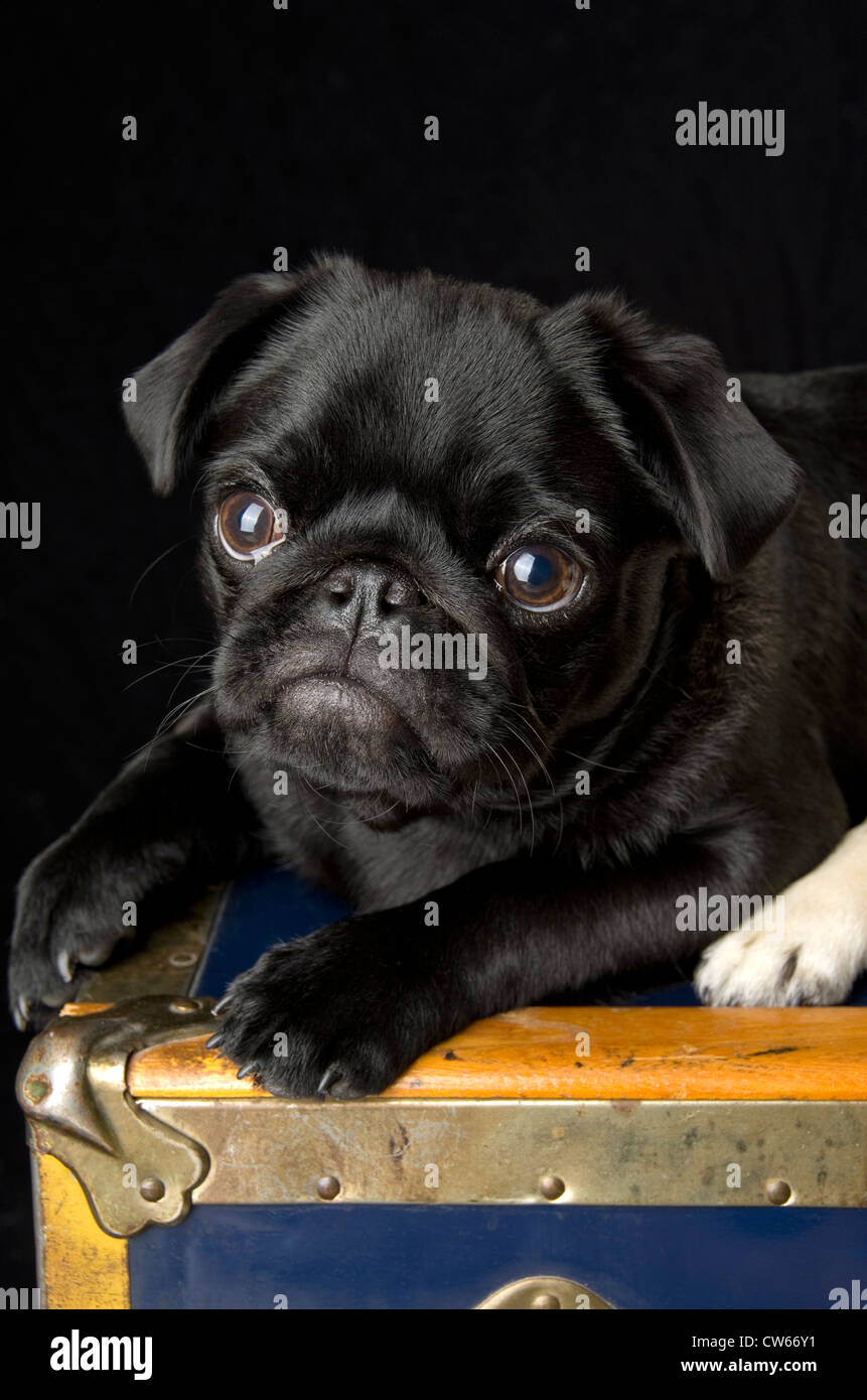 A black pug, 6 months old, sitting atop an antique trunk. - Stock Image