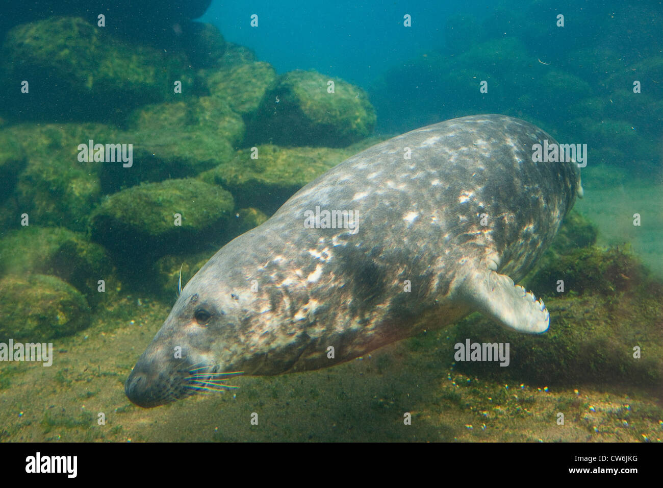 gray seal (Halichoerus grypus), diving under water, Germany Stock Photo