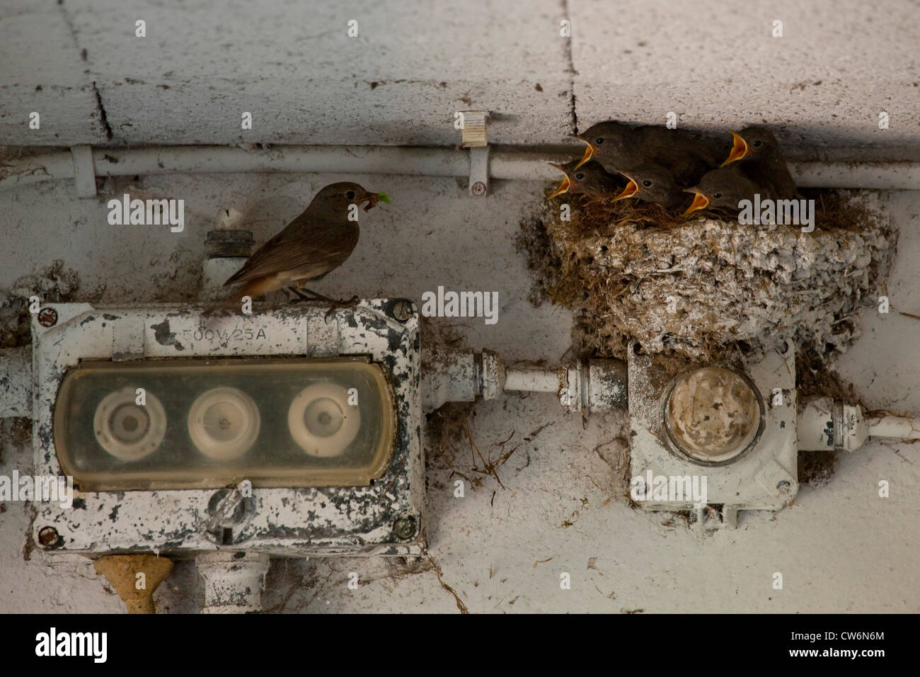 black redstart (Phoenicurus ochruros), nest full of begging young birdon a fuse box under a concrete roof, adult - Stock Image