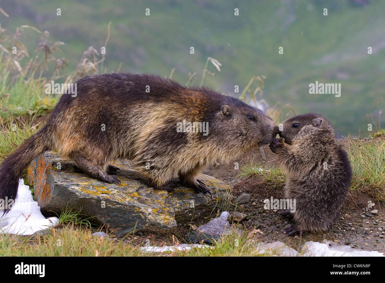 alpine marmot (Marmota marmota), adult with pup, Austria, NP Hohe Tauern, Grossglockner - Stock Image