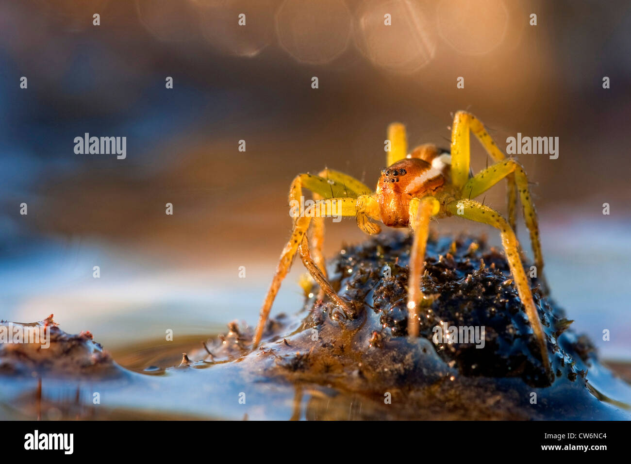 Fimbriate Fishing Spider Dolomedes Fimbriatus Sitting On A Mossy Stock Photo 49935652 Alamy