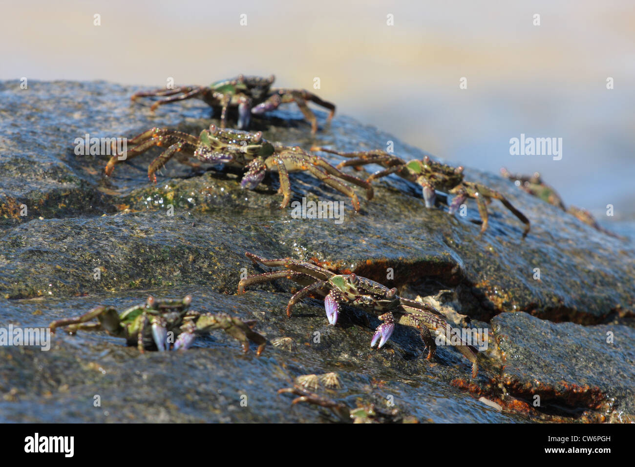 marsh crabs, shore crabs, talon crabs (Grapsus spec., Grapsidae), some animals on a rock wet from the surf, Thailand, - Stock Image