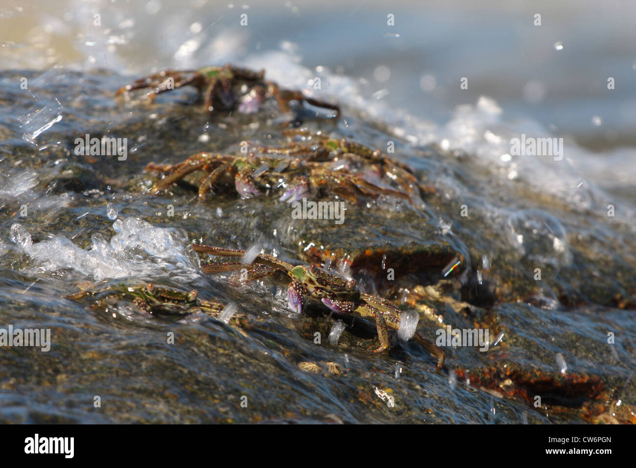 marsh crabs, shore crabs, talon crabs (Grapsus spec., Grapsidae), some animals on a rock in the surf, Thailand, - Stock Image
