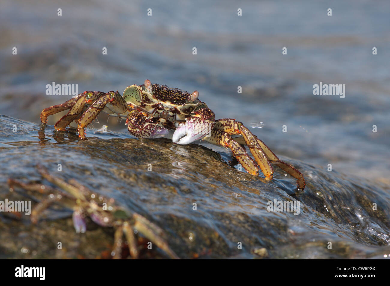 marsh crabs, shore crabs, talon crabs (Grapsus spec., Grapsidae), two animals on a rock wet from the surf, Thailand, - Stock Image