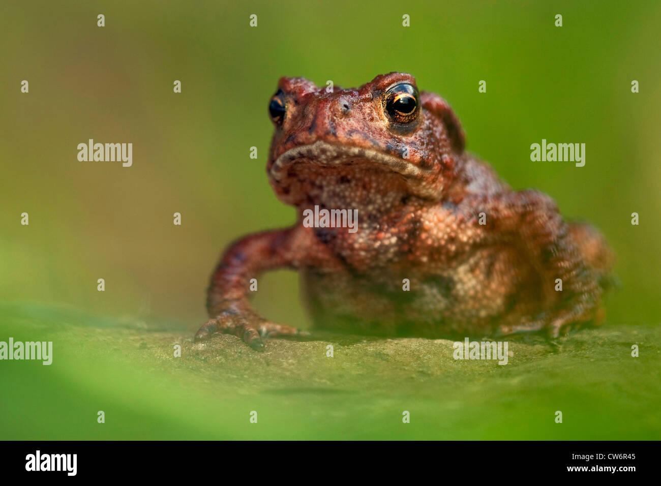 European common toad (Bufo bufo), sitting on the ground, Germany, Rhineland-Palatinate Stock Photo